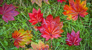 Autumn colours, Acer leaves Stock Photo