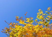 Autumn colours, Acer leaves Stock Photos
