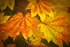 Autumn colours, Acer leaves Royalty Free Stock Images