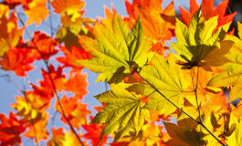 Autumn colours, Acer leaves Royalty Free Stock Photography