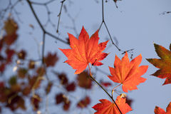 Autumn colours, Acer leaves Stock Photography