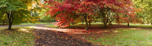Autumn colours, Acer leaves Stock Image