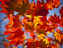 Autumn colours, Acer leaves Stock Photos