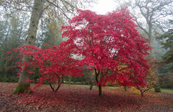 Autumn colours of acer tree. Stock Image