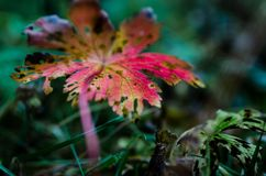 Autumn colours. Beautiful plant on autumn colours shot in the forest, in Finland Royalty Free Stock Photos