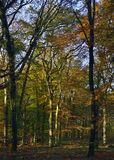 Autumn Colours in Forest of Dean Royalty Free Stock Images