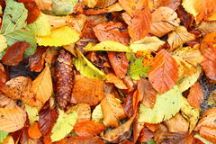 Autumn colours in forest leaf Royalty Free Stock Photo