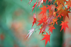 Autumn colours on the leaves. The sun shining on red leaves in the morning with a green background, Autumn Royalty Free Stock Photography