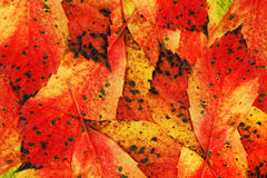 Autumn-Colours-Leaves. Arrangement of colourful autumnal leaves usable as seasonal concept or background stock image