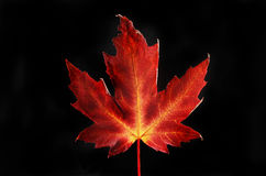 Autumn colours in a Maple leaf against black Stock Photography