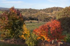 Autumn colours near Oberon. NSW. Australia. Royalty Free Stock Photo