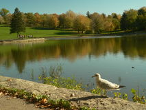 Autumn colours reflecting on a lake. In Canada with sea-gull in the foreground in Mont-Royal Park in Montreal royalty free stock photos