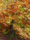 Autumn colours in Romania. Typical autumn colours foliage at Doftana River Valley, Prahova County, Romania Royalty Free Stock Photos
