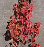 Autumn Colours On Virginia Creeper Stock Images