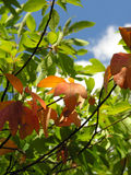 Autumn is coming. A few golden leaves in the sunlight on a green tree Stock Photography