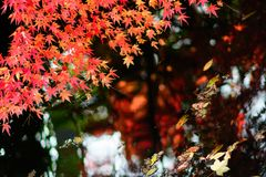 Maple. Autumn is coming. Maple leaves in Nanjing, China, start to turn red. December 2017 Stock Photos