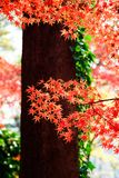 Maple. Autumn is coming. Maple leaves in Nanjing, China, start to turn red. December 2017 Royalty Free Stock Images