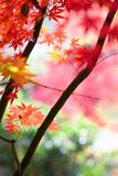 Maple. Autumn is coming. Maple leaves in Nanjing, China, start to turn red. December 2017 Royalty Free Stock Photo