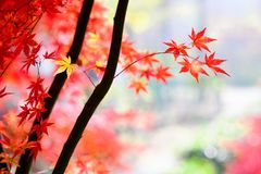 Maple. Autumn is coming. Maple leaves in Nanjing, China, start to turn red. December 2017 Stock Image