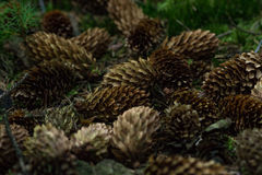 Autumn is coming soon. Pinecones fall to the ground royalty free stock image