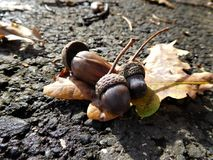 The acorns with colorful leaf on the road Royalty Free Stock Photography