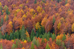 Autumn is coming. Vibrant autumn colors in the forest Royalty Free Stock Image