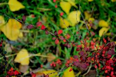 Beautiful red leaves. Autumn coming, yellow leaves, green grass, red leaves on trees Royalty Free Stock Photo