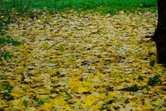 Yellow leaves on the ground. Autumn coming, yellow leaves on still green grass Stock Images