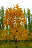 Yellow tree. Autumn coming, yellow tree between green Stock Images