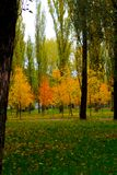 Yellow trees. Autumn coming, yellow trees between green Royalty Free Stock Photo