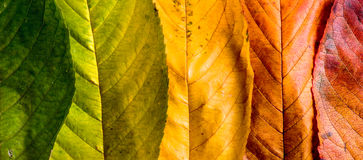 Autumn composition, colorful leaves in a row. Studio shot. Royalty Free Stock Photos