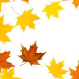 Autumn composition, maple leaves, top view, flat lay. Border made from color falling maple leaves stock image