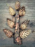 Autumn composition of pine cones Stock Images