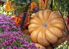 Autumn composition with pumpkins, asters and maple leaves royalty free stock photos