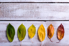 Autumn composition. Various colorful leaves. Studio shot, wooden. Autumn composition. Various colorful leaves in a row. Studio shot on white wooden background Royalty Free Stock Image