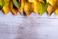 Autumn composition. Various colorful leaves. Studio shot, wooden. Autumn composition. Various colorful leaves in a row. Studio shot on white wooden background Royalty Free Stock Images