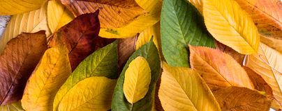Autumn composition, wet colorful leaves. Studio shot. Royalty Free Stock Photo