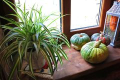 autumn composition on a window sill with pumpkins and a plant in a pot Stock Photo
