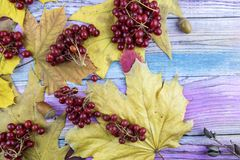 Autumn composition with yellow leaves, berries viburnum on a woo. Autumn leaves and a bunch of viburnum lies on colored wooden background royalty free stock photos