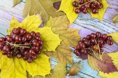 Autumn composition with yellow leaves, berries viburnum on a woo. Viburnum berries and autumn yellow leaves lie on a wooden background stock photo