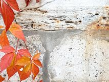 Autumn concept background .Wild grapes on a grunge white stone w Stock Photography