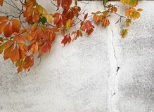 Autumn concept background .Wild grapes on a grunge white wall Royalty Free Stock Image