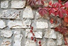 Autumn concept background .Wild grapes on a white stone w Stock Photography