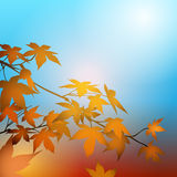 Autumn concept with Maple Leaves. Maple leaves on the branches in the autumn forest. Autumn concept background Stock Image