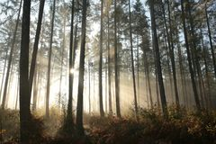 Free Autumn Coniferous Forest In Foggy Weather Trees In Most Pines And Larches Backlit By The Light Of The Rising Sun Morning Fog And Stock Image - 139462661