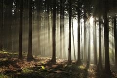 Free Autumn Coniferous Forest In Foggy Weather Trees Most Pines And Larches Backlit By The Light Of Rising Sun Morning Fog Autumnal Stock Photography - 139558012