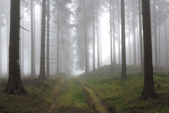 Autumn coniferous forest in the morning mist Royalty Free Stock Images