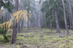 Autumn coniferous forest in the morning mist Stock Image
