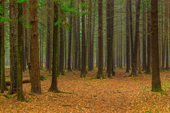 Autumn coniferous forest. Photo of the autumn coniferous forest Stock Photo