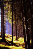 Autumn coniferous forest Royalty Free Stock Photo